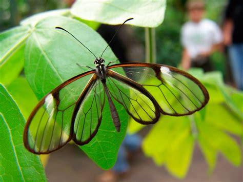 imagenes mariposas de cristal alimentaci 243 n de las mariposas de cristal im 225 genes y fotos