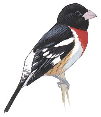 histories of american cardinals grosbeaks buntings towhees finches sparrows and allies order passeriformes family fringillidae literature cited and index classic reprint books cardinals grosbeaks and buntings audubon