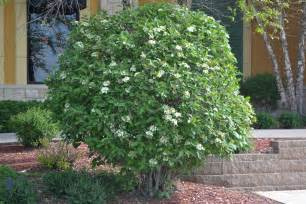 mohican viburnum is a deciduous shrub that produces white flowers