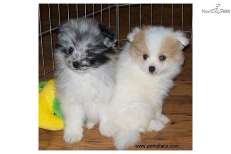 blue parti pomeranian pomeranian puppy for sale near huntsville decatur alabama 050a04bf 3341