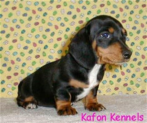 miniature dachshund puppies for sale in louisiana akc miniature dachshunds for sale in louisiana breeds picture