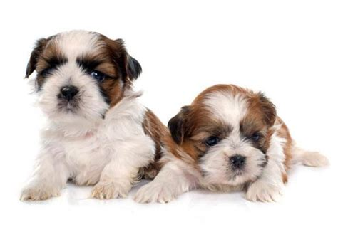 how many puppies can a shih tzu how many puppies can a shih tzu 5 steps onehowto