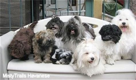trails havanese havanese breed pictures 1