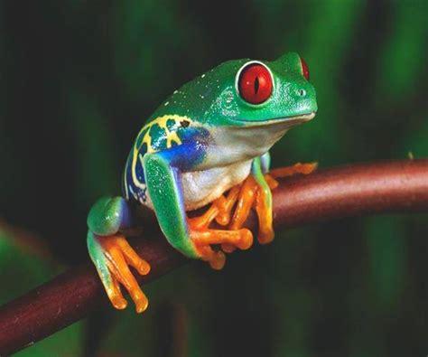 imagenes d ranas alegres sistema digestivo de una rana visi 243 n animal