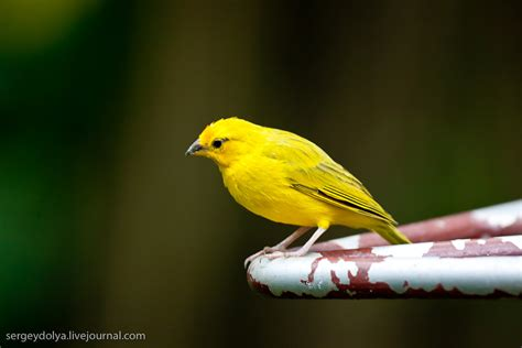 pics for gt yellow bird names