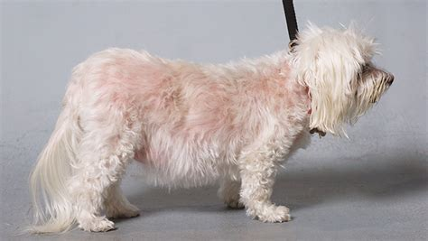 cushings disease dogs cushing s disease clinician s brief