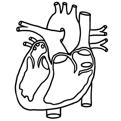 coloring pages of the heart s anatomy heart picture in human anatomy coloring pages heart