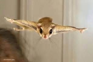 flying squirrel pictures sharesloth