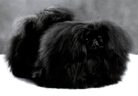 black breeds pekingese breed 187 information pictures more