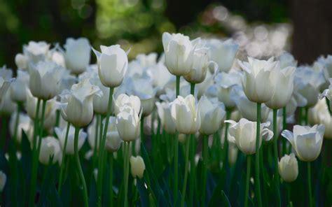 imagenes de blancas fondo de pantalla co de flores blancas hd