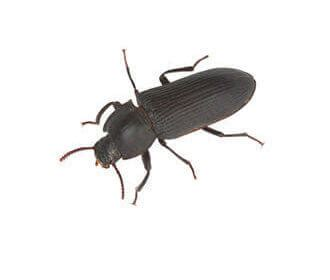 Dark Brown Bedroom common stored product insect species rentokil pest control