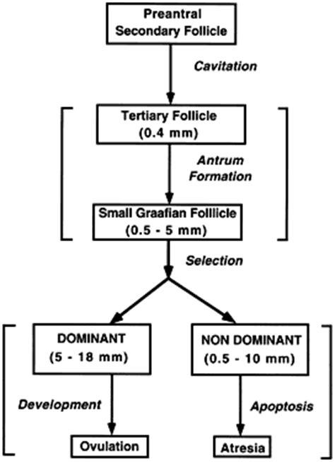 the flowchart below describes the events of the ovarian cycle the flowchart below describes the events of the ovarian