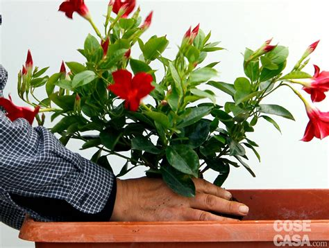 piante fiorite da terrazzo awesome piante fiorite da terrazzo ideas design trends