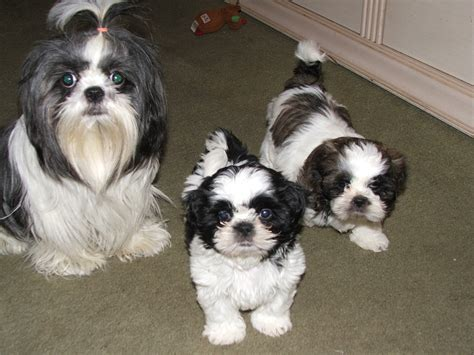 shih tzu information gallery puppy pictures