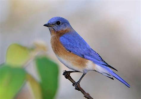 male bluebird bird identification pinterest bird