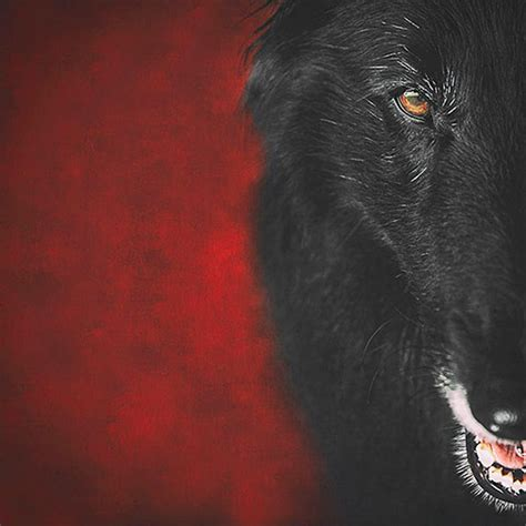 wolf shadow photography fine art animal photography