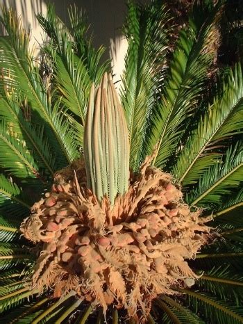 sago palm dogs sago palms extremely dangerous for cats and dogs