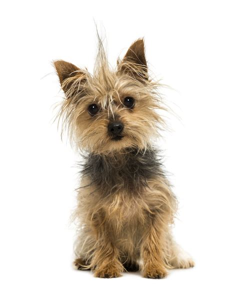 how many types of yorkies are there types of small dogs which breed is right for you