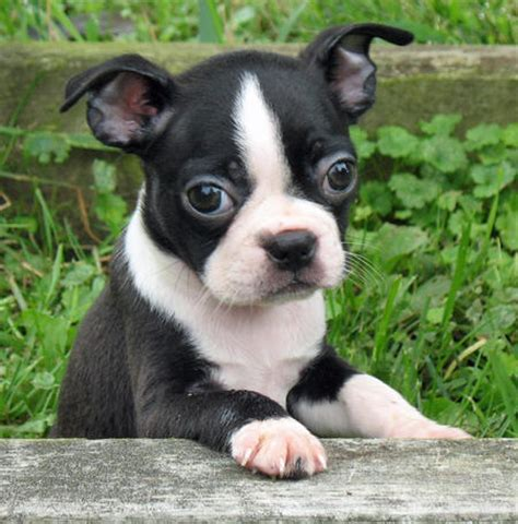 puppy boston terrier paisley the boston terrier puppies daily puppy