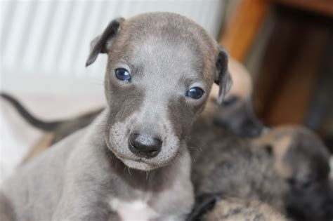 whippet puppies gorgeous whippet puppies lymington hshire pets4homes
