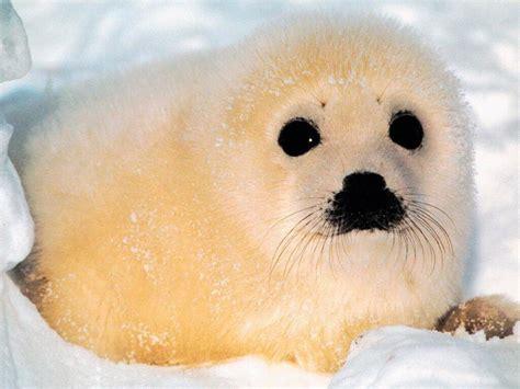 imagenes de focas blancas galer 237 a de im 225 genes fotos de focas
