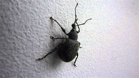 weevil insect bug uk youtube