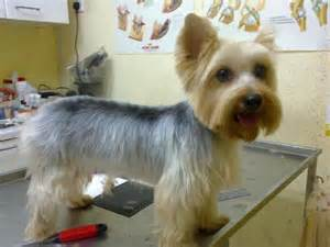 silky terrier haircut wish list
