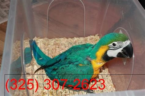 young beautiful blue gold macaw for sale kent for sale