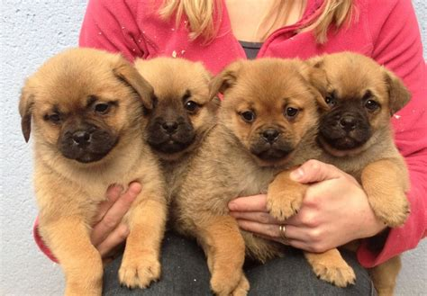 pomeranian pug lovely pomeranian x pug puppies warrington cheshire pets4homes