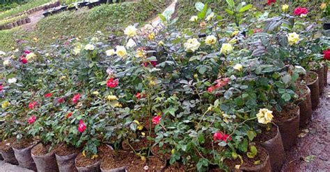 Jual Lu Hias Bekasi jual tanaman hias bunga jasa pembuatan taman dan kolam daerah jakarta bogor depok tangerang