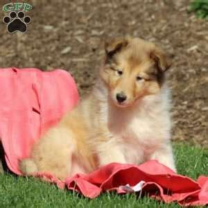 collie puppies for sale in pa collie puppies for sale in pa