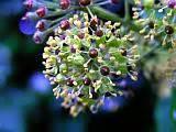 fiori ermafroditi edera