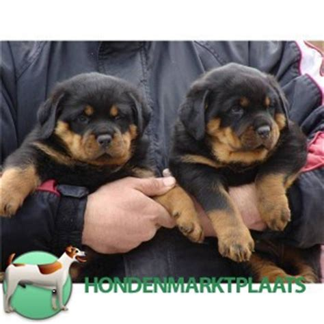 rottweiler puppies for sale in hton roads mooie rottweilers puppies honden