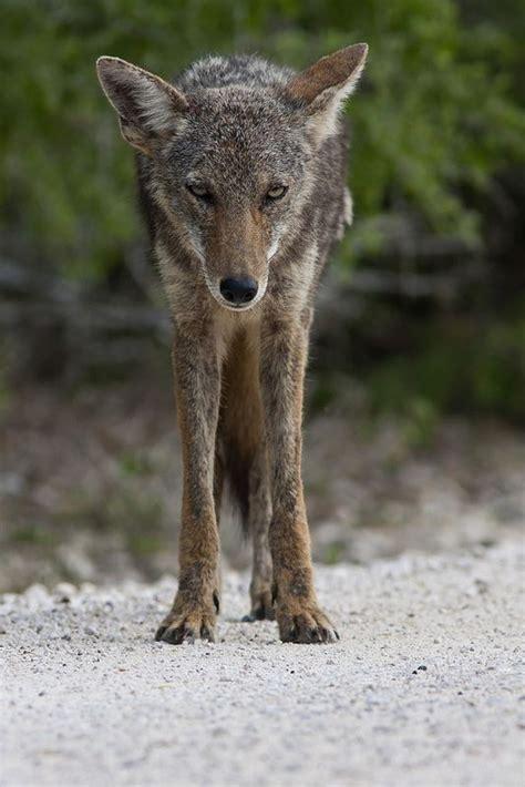 coyote dog anatomy north american animals wild dogs