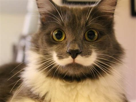 hipster tumblr oh lindo pinterest kitty cats the man behind hamilton the hipster cat on instagram