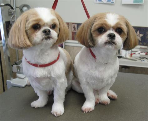 shih tzu puppy haircut magic s pet salon before after
