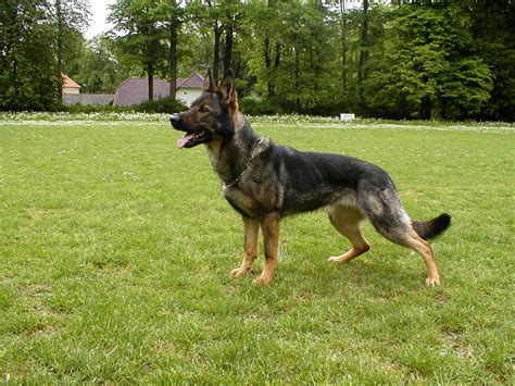 best protection dogs protection dogs trained for sale breeds picture