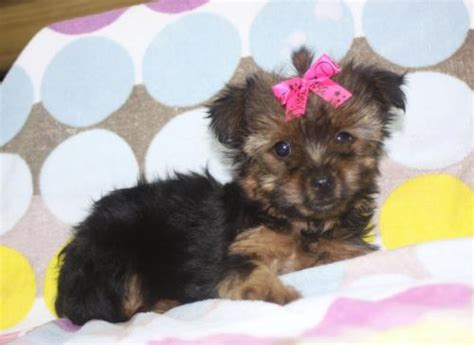 yorkie puppies for sale alabama alabama for sale puppies for sale