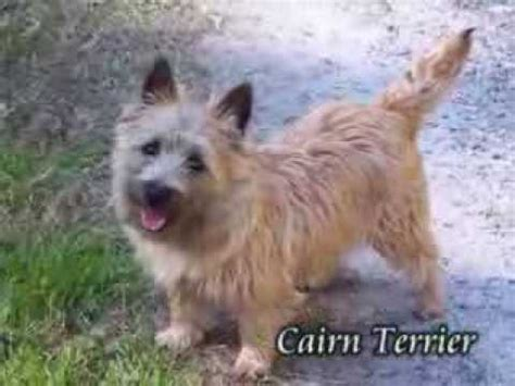 puppies in pennsylvania cairn terrier puppies for sale in pa