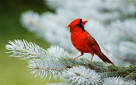 wallpapers of love birds wallpaper cave red bird wallpapers wallpaper cave