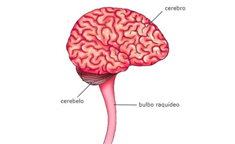 partes del bulbo raquideo conoce la anatom 237 a y las funciones del bulbo raqu 237 deo