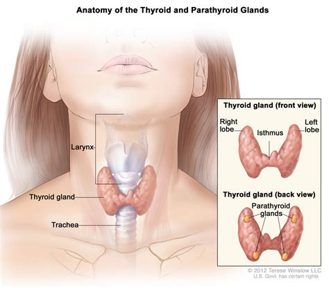 glands in the neck and throat diagram throat anatomy glands lymph node in neck diagram human