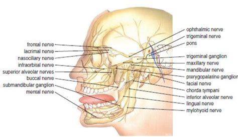 circulation motor sensory 2 anatomy of the trigeminal nerve pocket dentistry
