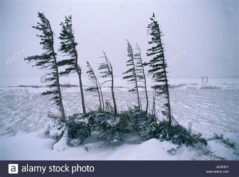 hudson bay christmas tree ads wind flagged spruce trees winter churchill hudson bay manitoba stock photo royalty free image