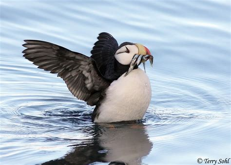 383 best images about papagaios do mar puffins on