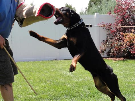 do rottweilers attack their owners german shepherd on steroids breeds picture