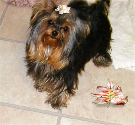 miniature yorkies for sale in louisiana yorkies for sale big
