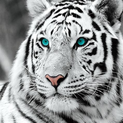 printable tiger eyes wall glass art white tiger blue eyes b w buy at