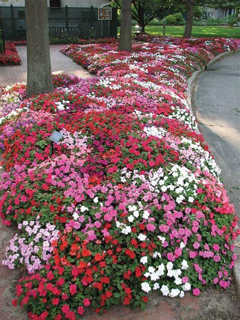 fiori di vetro coltivazione fiori di vetro piante annuali fiori di vetro
