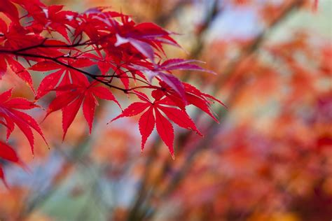 autumn leaves red  photo  pixabay